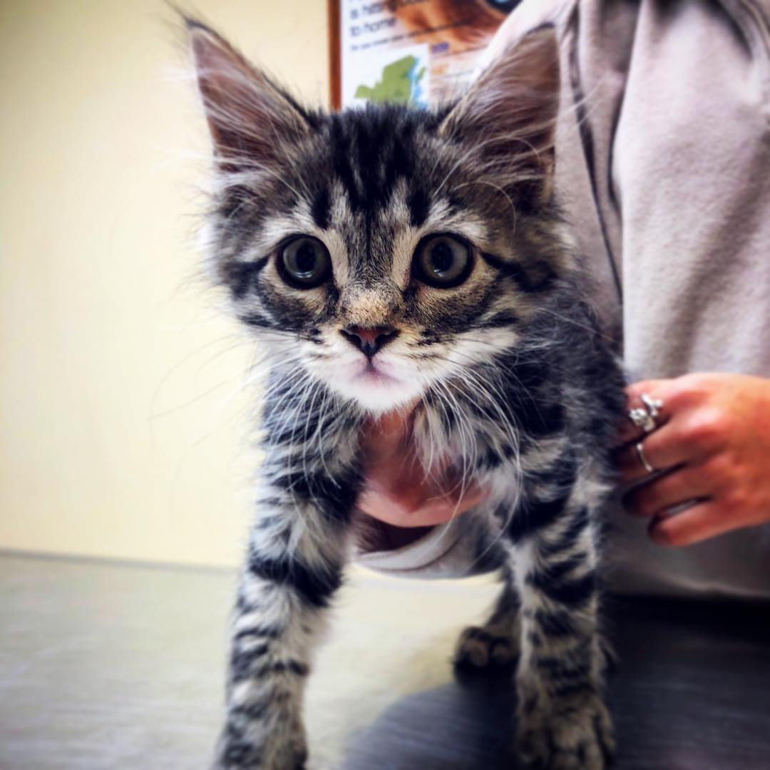 Kitten Vaccine Fallston